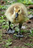 Baby Gosling. Cute and Fuzzy Little Baby Gosling Stock Photos