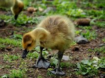Baby Gosling. Cute and Fuzzy Little Baby Gosling Royalty Free Stock Photo