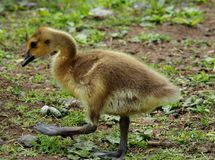 Baby Gosling. Cute and Fuzzy Little Baby Gosling Stock Photography
