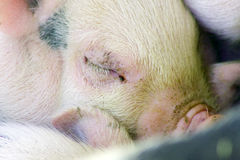 Cute and fuzzy one month old baby piglet royalty free stock photos