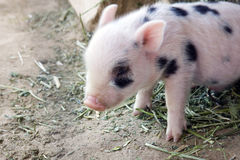 Cute and fuzzy one week old baby piglets. Cute and fuzzy one week old baby piglet on freshly cut green hay stock images