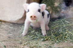Cute and fuzzy one week old baby piglets royalty free stock photo