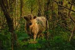 Cute Gallowaycalf in the forest stock images