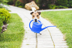 Cute gardener with a blue watering can on garden path. Dog irrigating flowers at garden Stock Photography