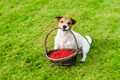Cute gardener carrying basket full of red berries at green grass Stock Photo