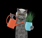 Cute gardener cat with flower and watering can isolated on black Stock Photos