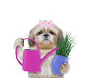 Cute gardener girl dog with flower and watering can isolated on white Stock Photo