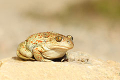 Cute garlic toad standing on the ground Royalty Free Stock Images