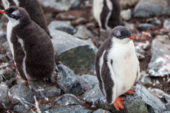Cute Gentoo penguin chick on a rock in Antarctica Royalty Free Stock Images