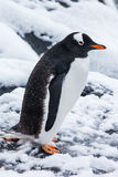 Cute gentoo penguin on the snow in Antarctica Royalty Free Stock Photography