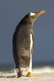 Cute Gentoo Penguin with wings by side Stock Photos