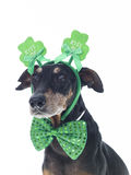 Cute German Pinscher Dressed for St. Patrick`s Day. Cute German Pinscher wearing `Kiss Me` ears and bow tie against pure white backdrop Royalty Free Stock Images