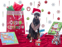 Cute German Pinscher Modeling his Christmas Theme. Cute German Pinscher wearing his Santa hat and scarf with Christmas backdrop Stock Photography