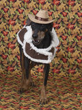 Cute German Pinscher modeling his fall outfit. Cute German Pinscher wearing his jacket and cowboy hat with fall backdrop Stock Photography