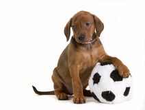 Cute German Pinscher puppy with toy. Cute purebred red German Pinscher puppy, eight weeks old, resting his front paw on a fluffy soccer ball toy, with a cool Stock Photo