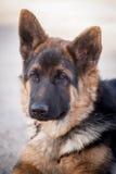 Cute german shepherd dog posing Stock Photo