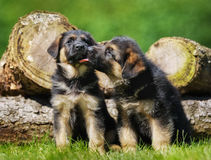 Cute german shepherd puppies Stock Photo