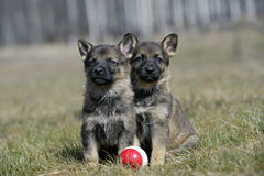 Cute German Shepherd puppies. Two German Shepherd puppies, five weeks, sitting together in grass with ball stock photography