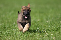 Cute german shepherd puppy Stock Images