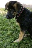 Cute german shepherd puppy Royalty Free Stock Image