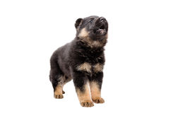 Cute German Shepherd puppy barks. Standing isolated on white background Royalty Free Stock Photos