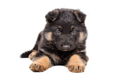 Cute German Shepherd puppy. Lying isolated on white background Stock Photography