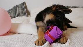 A cute German shepherd puppy is lying on a white bed and is playing funny with a box of pink gift, trying to unleash a