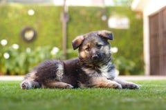 Cute german shepherd puppy portrait Stock Photography
