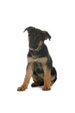 Cute German Shepherd puppy sitting Stock Images