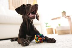 Free Cute German Shorthaired Pointer Dog Playing With Toy Royalty Free Stock Image - 188946206