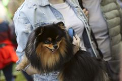 A cute German Spitz puppy in the girl's arms. Cropped shot, horizontal, outdoors, place for text, side view. Pets concept royalty free stock photos
