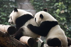 Cute Giant Panda Bear Cub Play, Beijing Zoo China. A cute, cuddly, and playful giant panda bear cub plays at the Beijing Zoo in China. The Chinese are proud of stock photos