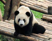 Cute giant panda bear posing for camera Stock Photos