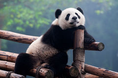 Cute giant panda bear posing for camera Stock Images