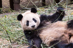 Cute giant panda. Cloesup of the cute giant panda in zoo, charmingly naive Stock Images