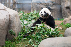 Cute Giant Panda Stock Photos