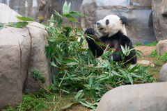 Cute Giant Panda Stock Photography