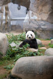 Cute Giant Panda Stock Photo