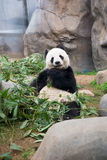 Cute Giant Panda Royalty Free Stock Photography