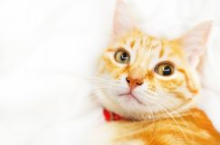 Cute ginder cat. Cute ginder cat basking on the white bed stock images