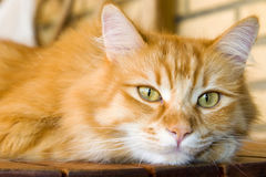 Cute ginger cat. Portrait of cute ginger cat with pricked ears Stock Photos