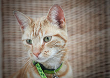 Cute ginger cat. Portrait of cute ginger cat with green collar Stock Image
