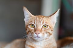 Free Cute Ginger Cat Face, Cute Pet Royalty Free Stock Image - 119605776