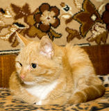 Cute Ginger Cat Royalty Free Stock Photo
