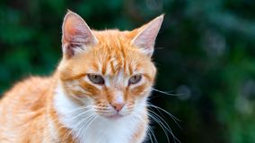 Cute ginger cat on green background stock photography