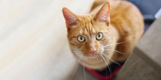 Cute ginger cat looking curious above to the camera. Cute ginger cat sitting in a box and looking curious above to the camera Royalty Free Stock Images