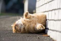 Cute ginger cat lying on the street Royalty Free Stock Photos