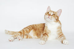 Cute ginger cat lying on the white. Background Royalty Free Stock Image
