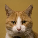 Cute ginger cat portrait. Portrait of cute ginger cat with white nose, plain background Royalty Free Stock Images