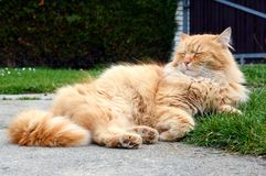 Cute ginger cat relaxes Royalty Free Stock Photo